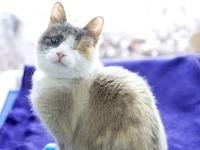 Bella's story Sweet DSH Dilute Tortie Bella is a lovely