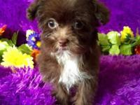 Bella is a chocolate T cup Yorkie poo. Do not let her