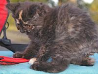 "Persian kittens, purebred: ""Bella"", pretty doll-face"