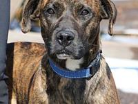 Bella's story I am a 1 year old female brindle