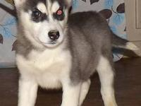 I have a purebred, black and white, male Siberian Husky