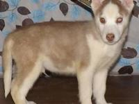 I have a purebred, dark red and white, male Siberian