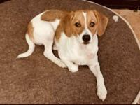Belle is 1.3 year old 24 lb Beagle She is house
