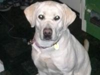 Belle is a 1 yr old pure breed lab. Has all her shots.