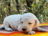 Cream/white color AKC Standard Poodles from Champion