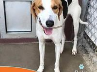 My story Meet Belle a fun loving American Foxhound