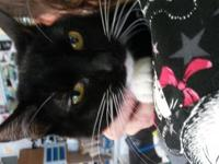 1 year spayed female DSH Black and White MixBelle is a
