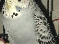 Belvedere is a male parakeet, transferred to CTPR