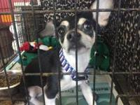 Ben is a neutered male, Chihuahua mix, tri-color, about