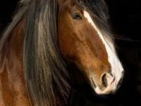 Ben is a 2000 Clydesdale gelding. He arrived here at