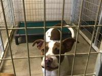 Ben-Hur is a male young American Bulldog mix. He