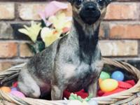 Gorgeous Gucci is a 1 1/2 year old Chihuahua mix who is