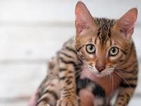 Bengal kitten for sale. she was born February 2015. She