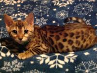 Gorgeous, purebred Bengal and Savannah kittens. Colors