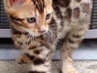 Bengal Baby kittens starting at $500 and $750: Just in