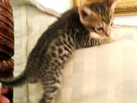 Bengal beautiful kittens TICA registered. Brown spotted