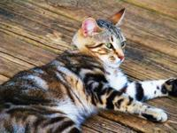 I have one female bengal bob still available. Rachel is