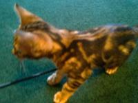 Purebred registered Bengal kitten, male,12wks,