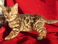 This bengal boy Leo is an F4 born August 11th 2015.