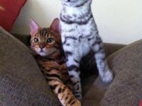 Bengal two beautiful male cats 15 months old. They are
