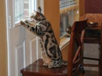 Two beautiful bengal cats having to find a new home