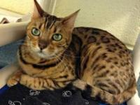 Bengal - Cheetah - Medium - Adult - Female - Cat Hi, my