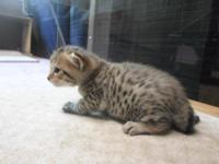 For Sale. This little Bengal brown discovered girl, she