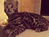 She is an f1 bengal kitten very high generation up to