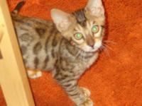 This beautiful-Sweet- Bengal Kitten (14 weeks) $800/pet