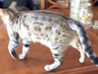 Papered female Bengal, four years old. Well mannered,