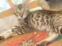 Beautiful Bengal kittens--14 weeks & ready to go. If