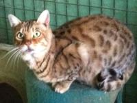 Lovely undamaged Male from NJ Show Cattery, Aluren