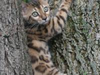 I have a great female Bengal kitty born July 4th that