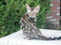 I have one adorable brown female bengal kitten left.