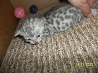 TICA reg. One male $375. Ready May17. For more photos