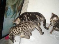 Marble Bengal Kitten - Male, 1st shots, Felv/FIV