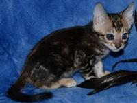 bengal Kitten comes with a health guarantee as well as