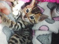 Hello, we have Bengal kittens they will be ready to a