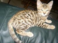 Beautiful Bengal Kitten, Female, Nice Rosettes, Gold