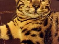 Beautiful bengal male kitten. TICA registered, up to