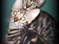 I have 3 bengal kittycats prepared for new houses! Ace,