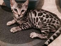 1 Silver F-5 Male Bengal For Sale. Beautiful markings