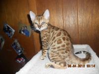 11 week old Bengal female kitten for sale - breeder