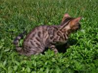 Male Bengal kitten 12 wks. old, 500.00 pet only or