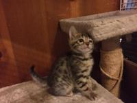 Bengal Kittens -These sweet and playful babies are TICA
