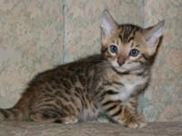 I HAVE TWO ADORABLE BROWN BENGAL KITTENS, TICA