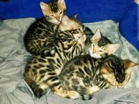 Born 2/21/18 making them 10 weeks old, bengal kittens!!
