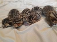 We have Bengal kittens avaliable rehoming with fees