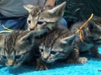4 Kittens Ready to Leave June 24. Will be dewormed, UTD