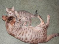 i have 5 gorgeous bengal kittens...i have 4 boys and
